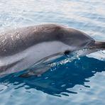 Wilde Delfine im Golf von Korinth 24