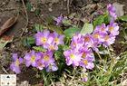 Wilde Frühlingsblumen (4)