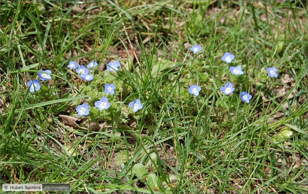 Wilde Frühlingsblumen (6)