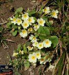Wilde Frühlingsblumen (7)