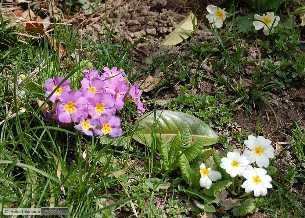 Wilde Frühlungsblumen (4)