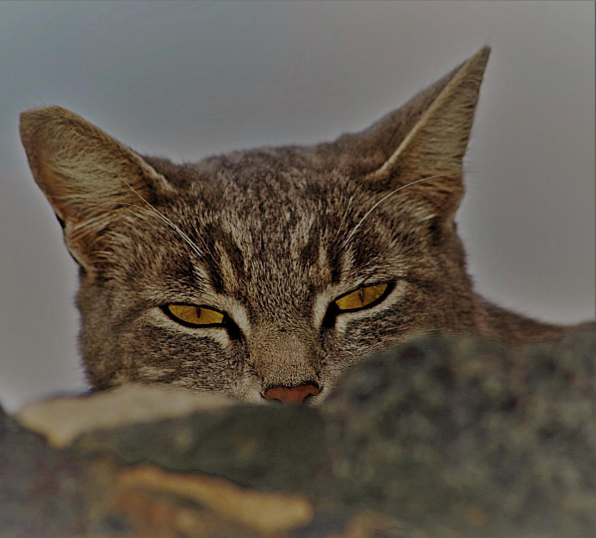 Wilde Katze mit Kampfspuren..