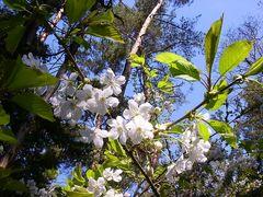 Wilde Kirschen im Wald
