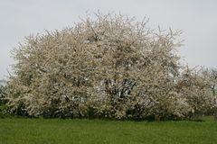 Wilde Kirschen in voller Blüte