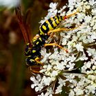 Wilde Möhre (Daucus carota subsp. carota).........