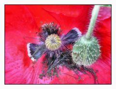 Wilde Mohnblüte