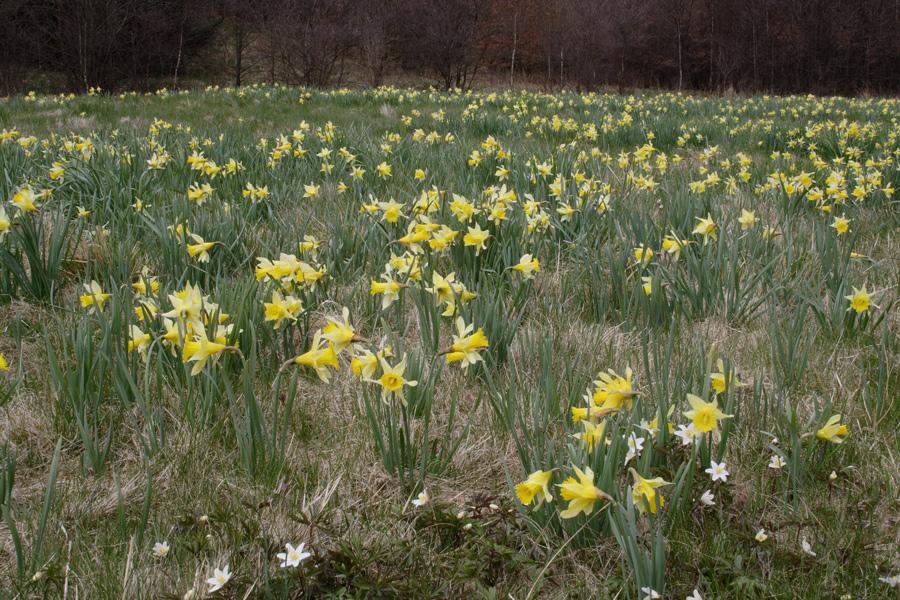Wilde Narzissen - endlich Frühling!