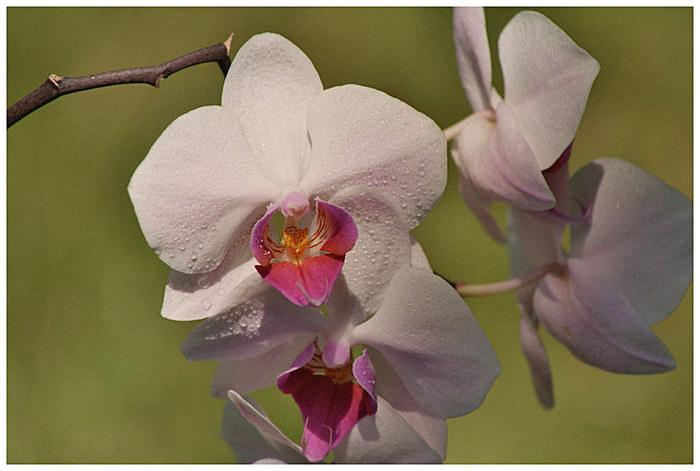 """""""Wilde Orchidee"""""""