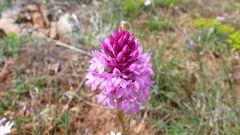 wilde Orchidee im Larzac bei Millau ( Zentralmassif)