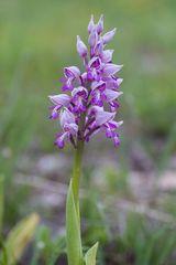wilde Orchideen 1