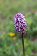 wilde Orchideen 4