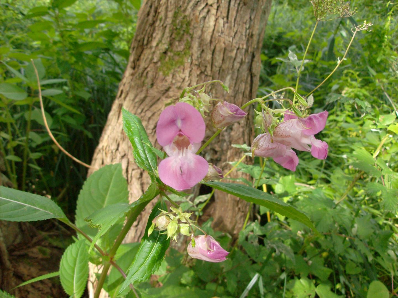 Wilde Orchideen am Tröndelsee in Kiel