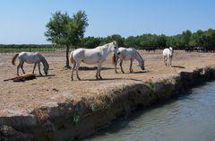 wilde Pferde ...