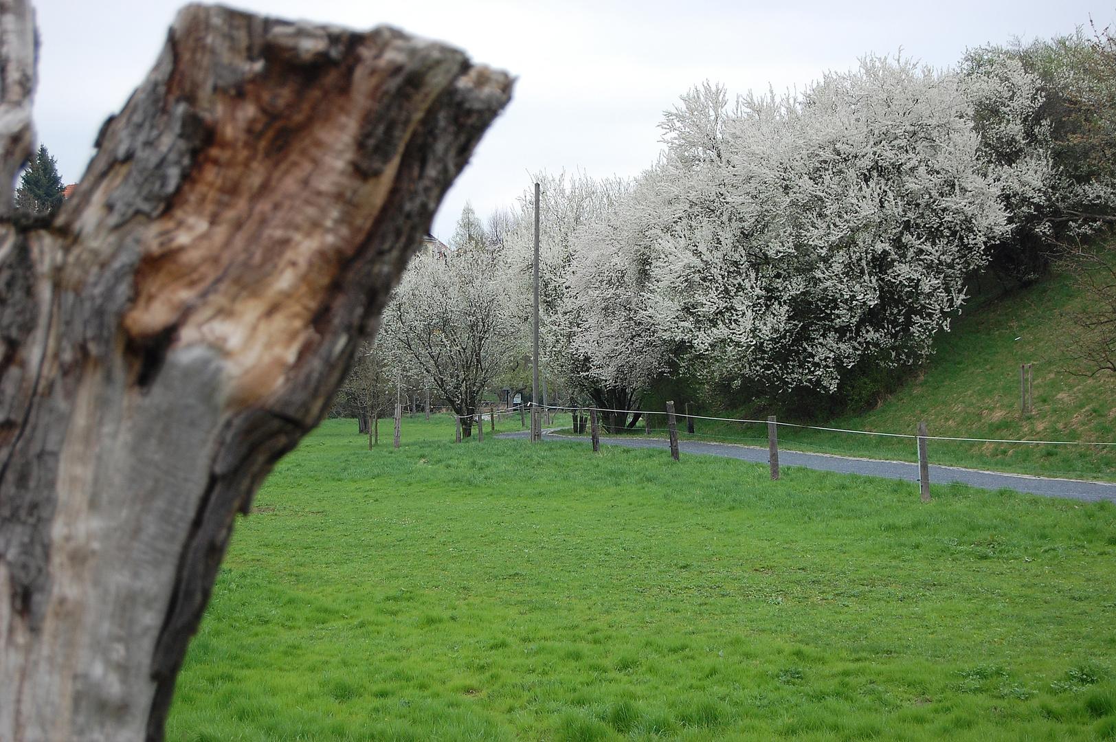 Wilde Pflaumen im März