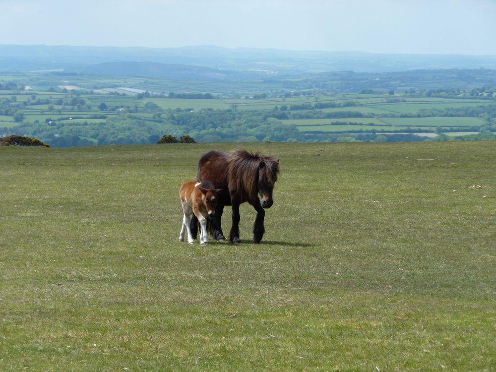 Wilde Ponys in Südengland - Harmonie pur