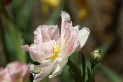 wilde rosa Tulpe