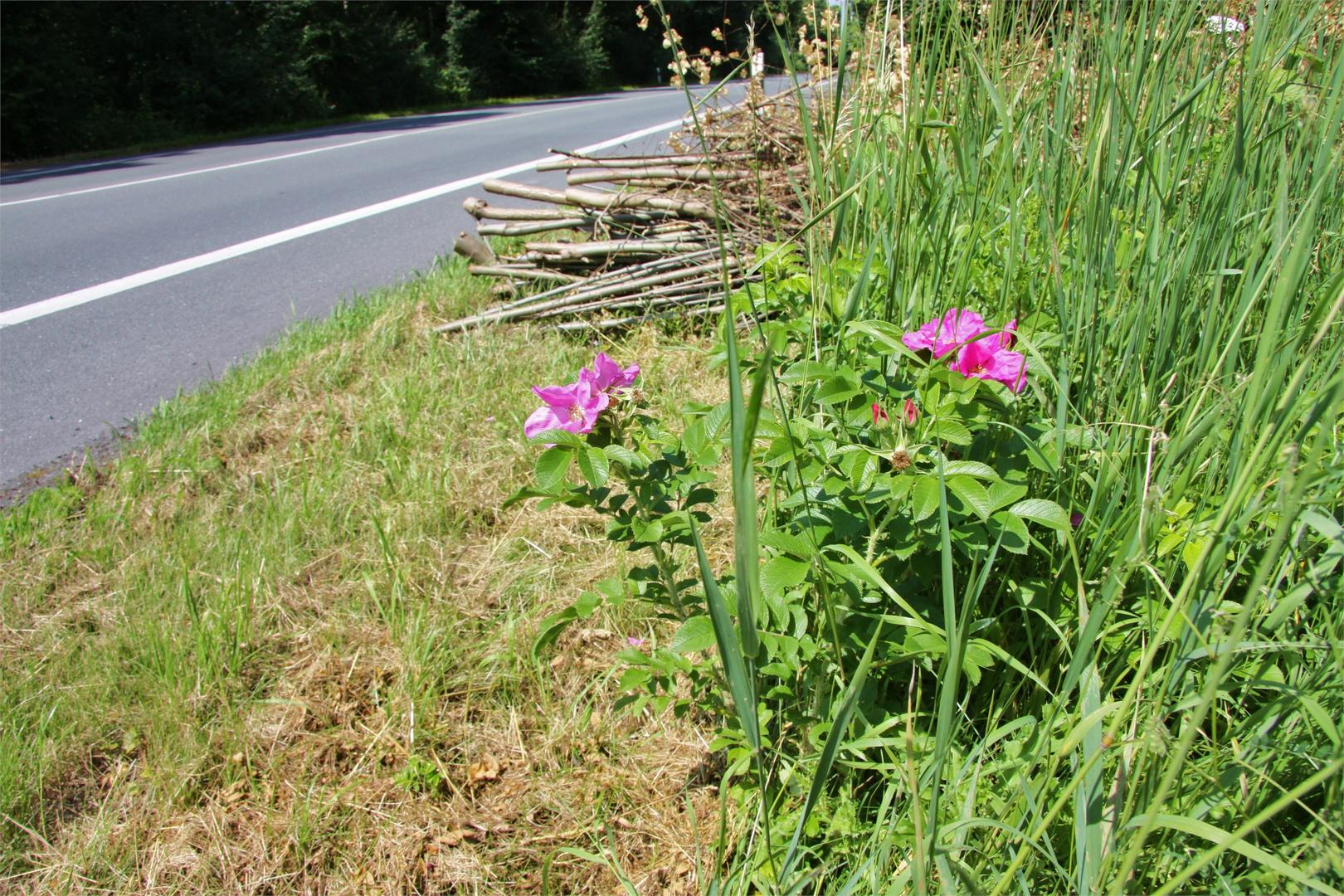 Wilde Rosen an der Landstraße nach Hamm