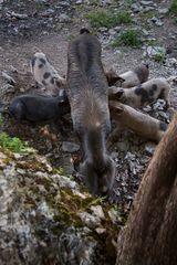 Wilde Schweine auf Sardinien