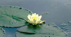 Wilde Seerose im Teich