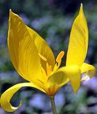 Wilde Tulpe - Blüte
