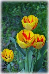 """""""Wilde"""" Tulpen"""