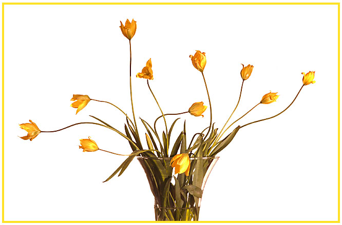 Wilde Tulpen im Studio