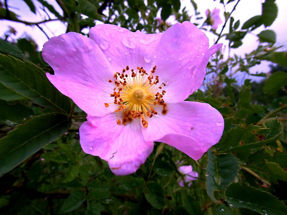 wilde Wiesenblume