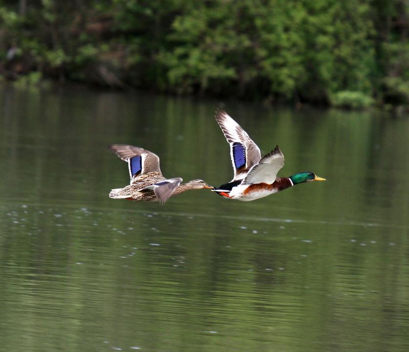 Wildentenpaar im Fluge