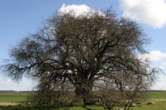 wilder apfelbaum 500 jahre alt foto bild aus der. Black Bedroom Furniture Sets. Home Design Ideas