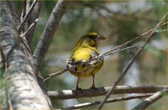 Wilder Kanarienvogel # Canario salvaje