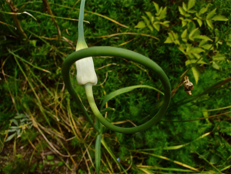 wilder knoblauch foto bild pflanzen pilze flechten bl ten kleinpflanzen wildpflanzen. Black Bedroom Furniture Sets. Home Design Ideas