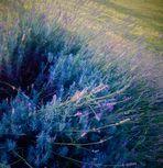 wilder Lavendel ganz sanft ....
