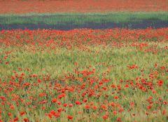 wilder Mohn - Lavendel - Provence - Roussillon