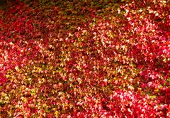 Wilder Wein im Herbstlaub