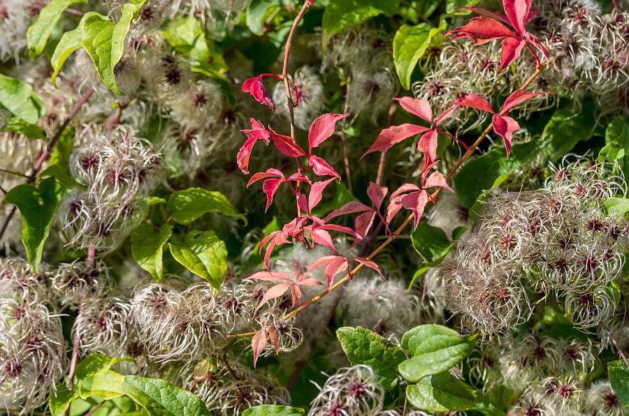 wilder wein im herbstlichen weinberg foto bild pflanzen pilze flechten rankgew chse. Black Bedroom Furniture Sets. Home Design Ideas