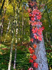 Wilder Wein im Herbstwald!