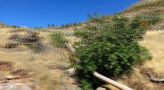 Wildfeigenbaum