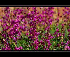Wildflower X