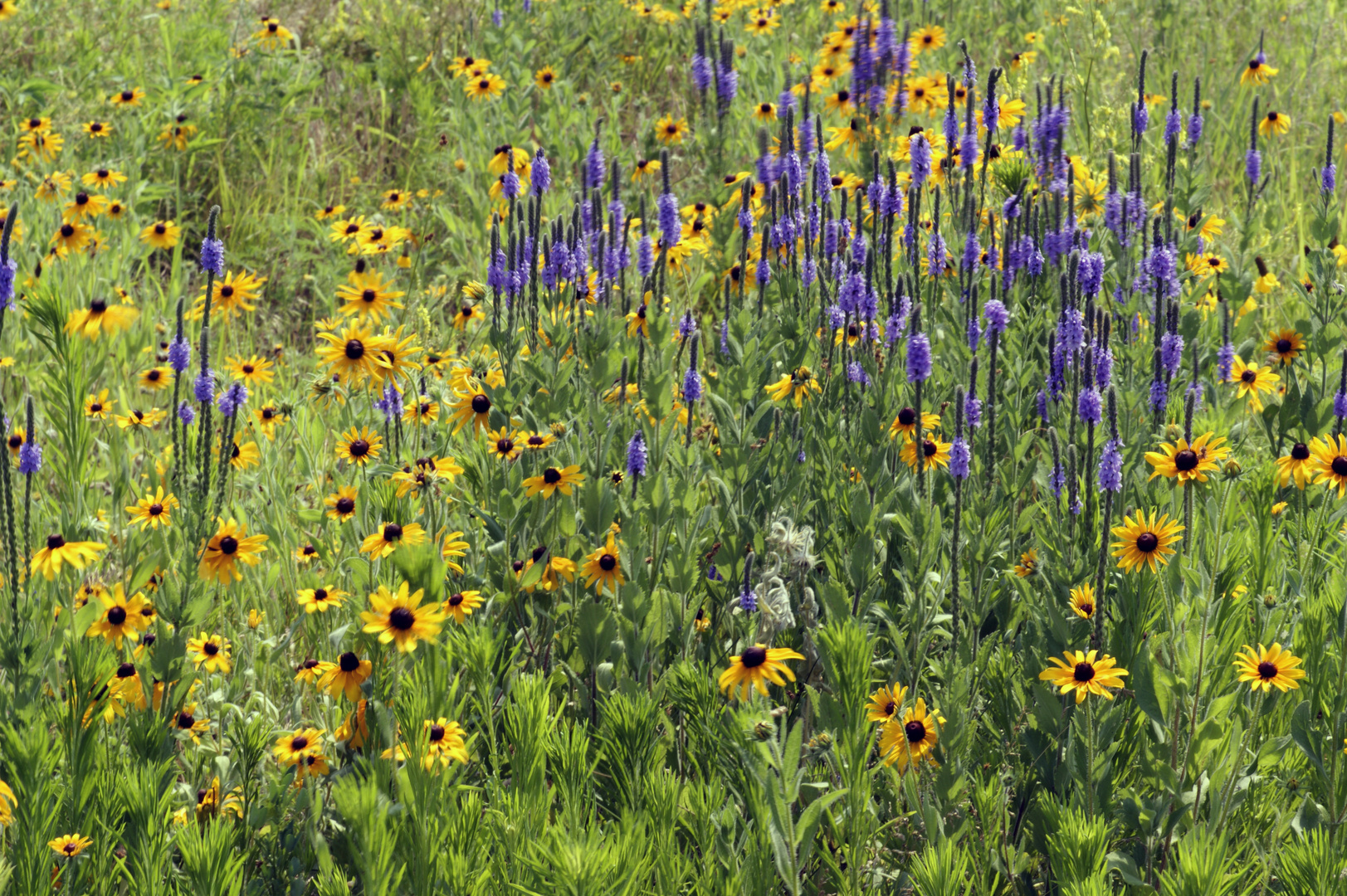 Wildflowers Of The Great Plains