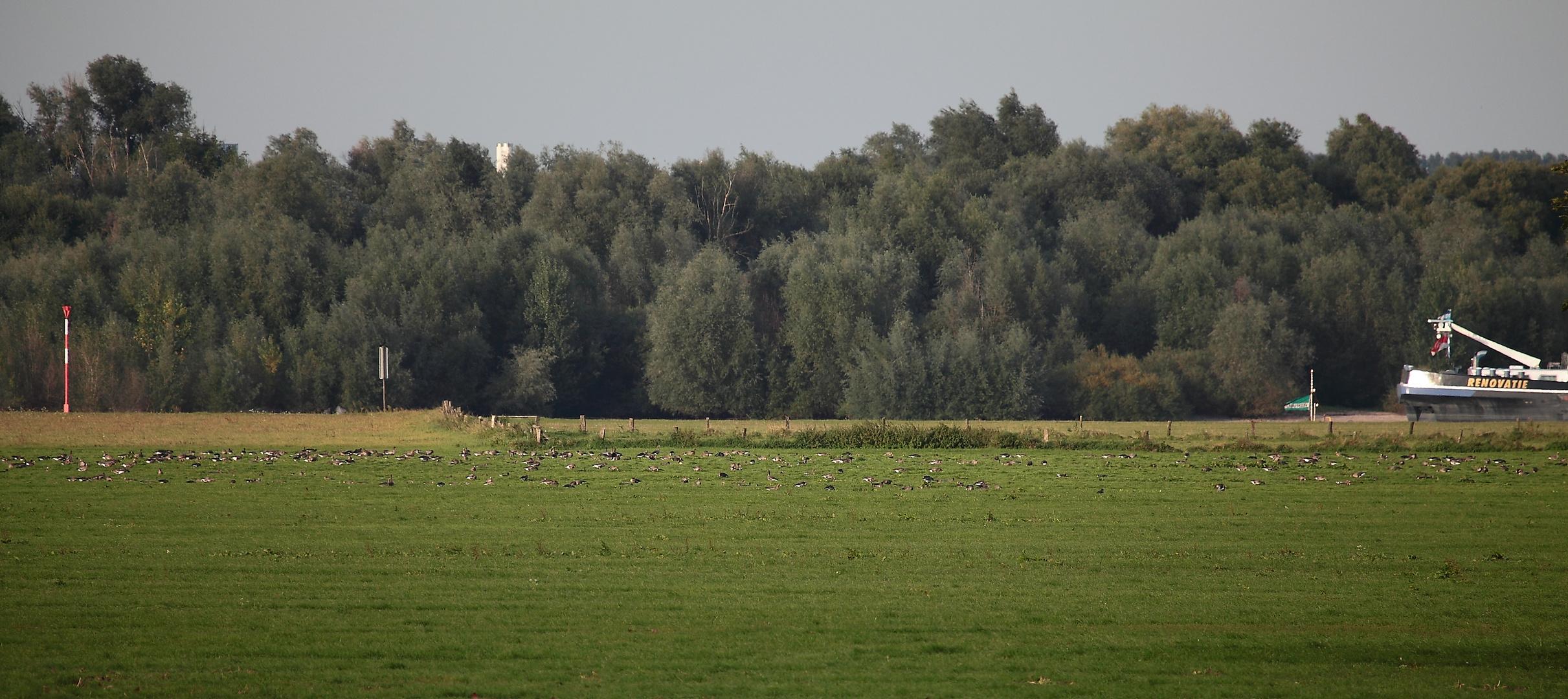 Wildgänse am Niederrhein