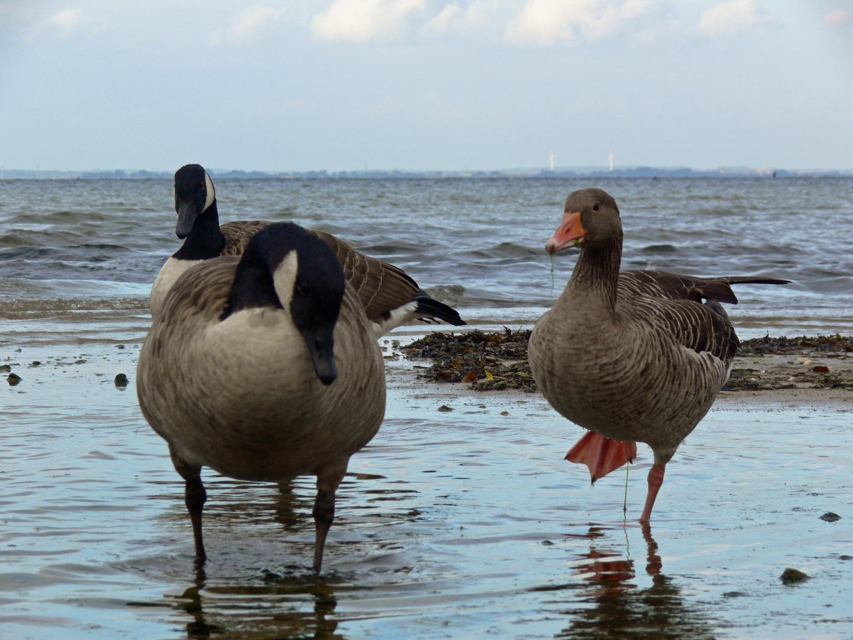buy popular f185e 26c35 Wildgänse an der Ostsee Foto & Bild | tiere, wildlife, wild ...