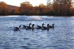 Wildgänse auf dem Bruchsee (I)