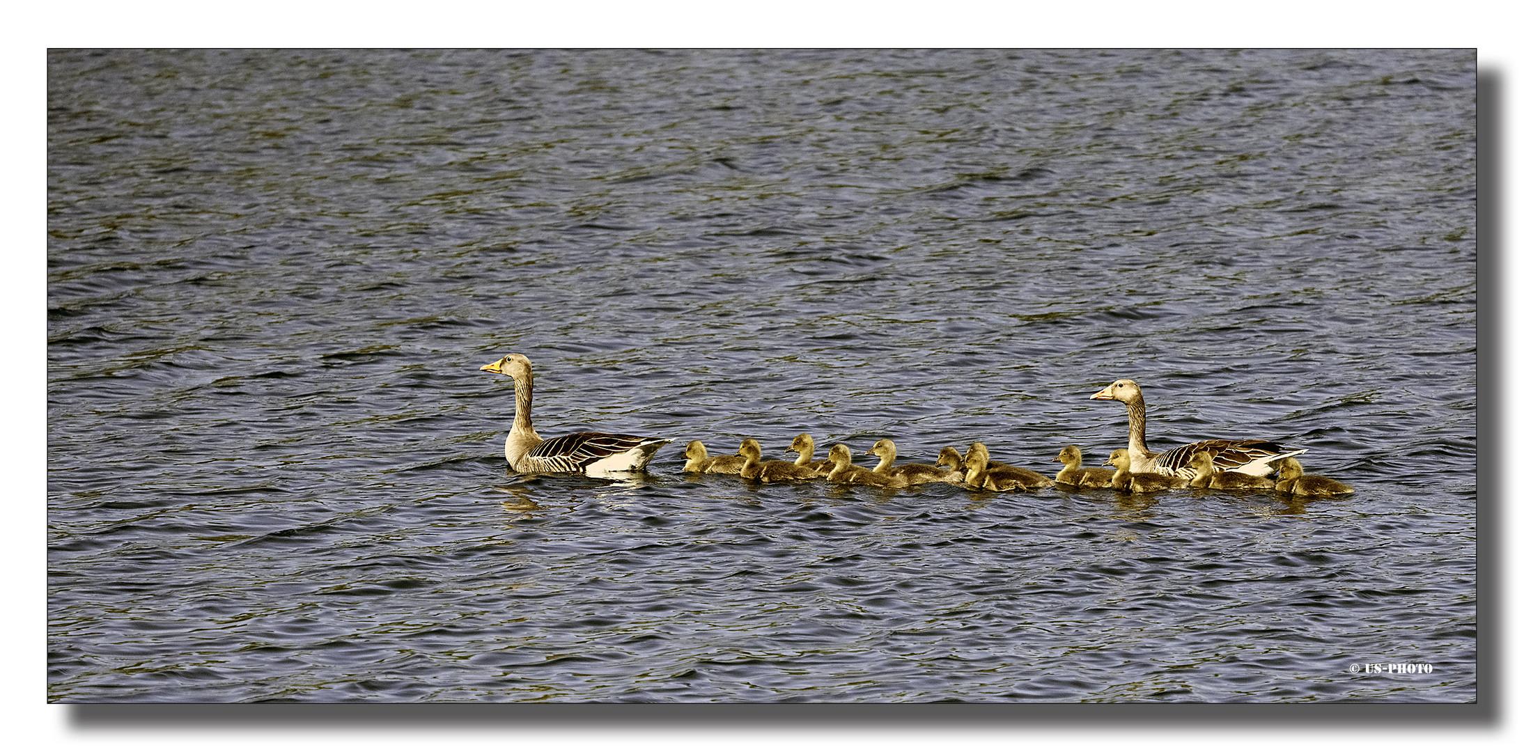Wildgänse - Familienausflug