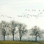 Wildgänse - Naturschutzgebiet Xantener Altrhein - Bislicher Insel