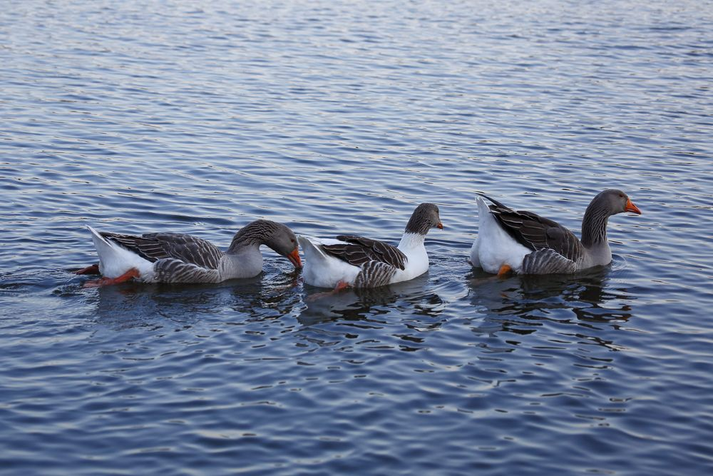 Wildgans auf dem Bruchsee (V)