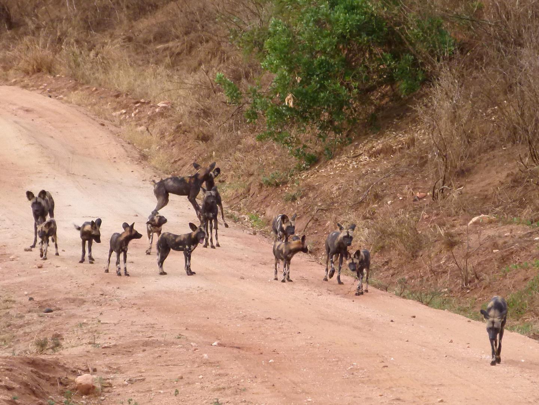 Wildhund im Tsavo West