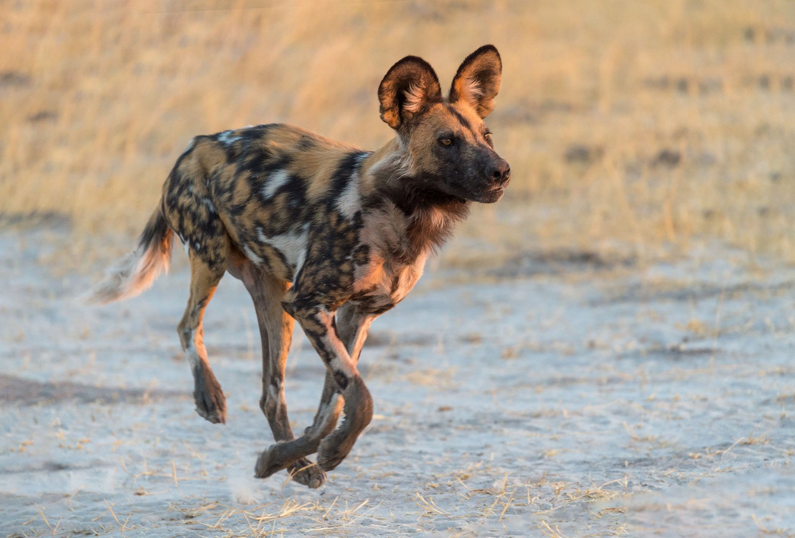 Wildhund ohne Bodenkontakt