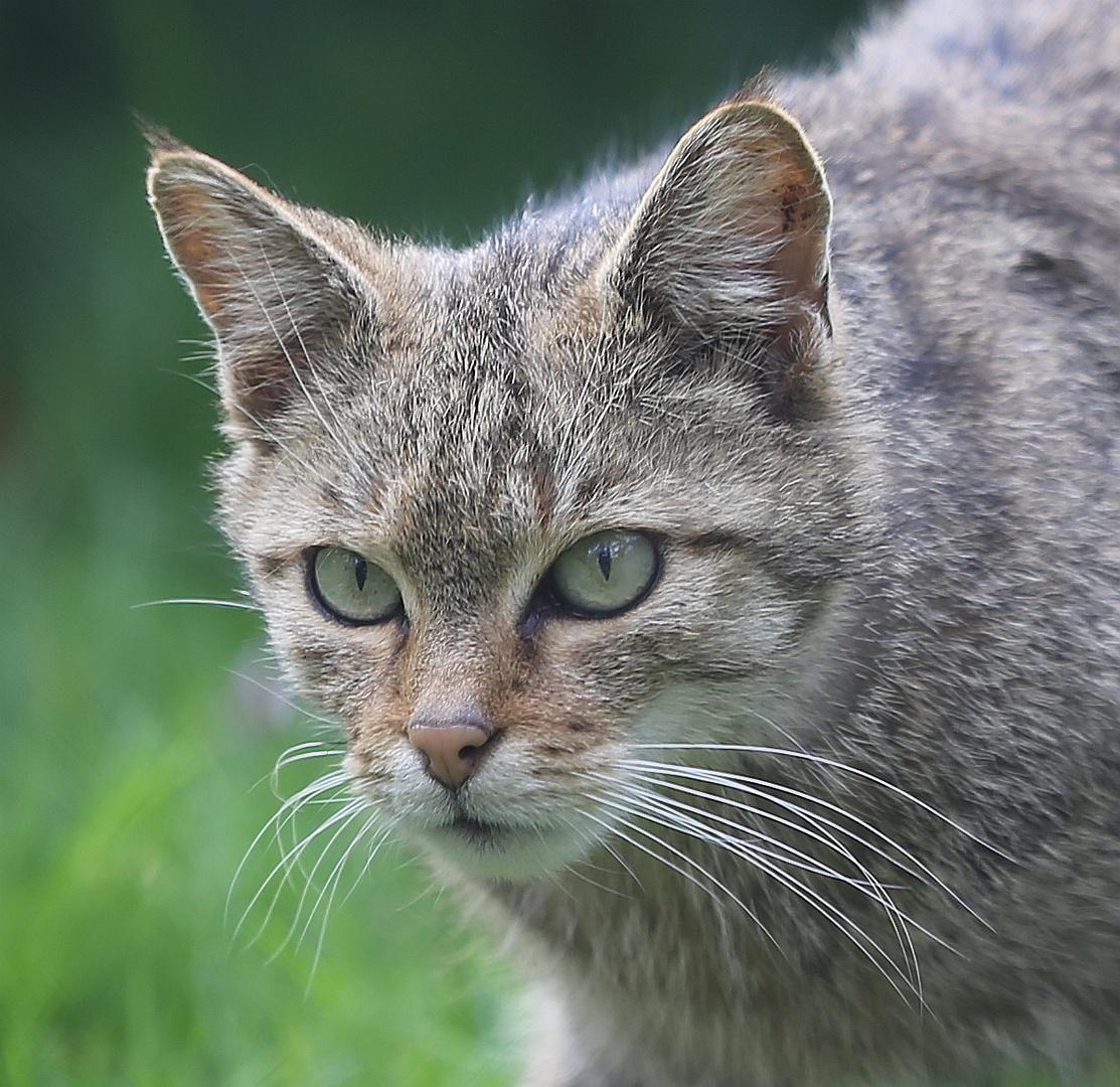 Wildkatze auf der Lauer