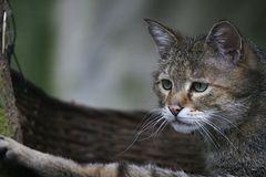 Wildkatze auf Lauer