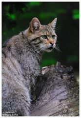 ---- Wildkatze ----   ( Bay.-Wald )